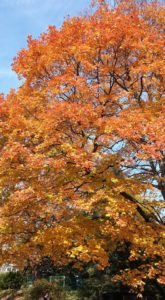 orange-autum-tree